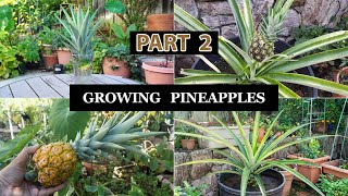 The Joy Of Growing Pineapples - How To Grow Pineapple Plants In Containers - Part 2