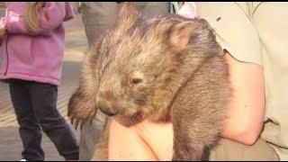Holding an Australian Wombat