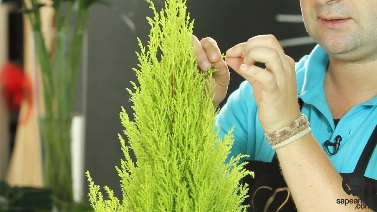 Cuidados del cupressus pino limonero cultura de flor for Tipos de pinos para jardin fotos