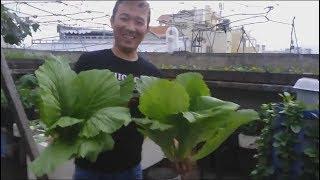 Hướng dẫn cách bón phân và chăm sóc cải bẹ xanh