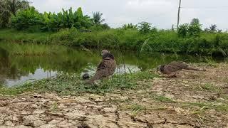 Bẩy Chim Cu Gáy Sóc Trăng ( Thành ) Bổi Khôn Mồi Ngu Nên Không Bắt Được Bổi 30-9-2018.