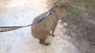 Capybara Jogging