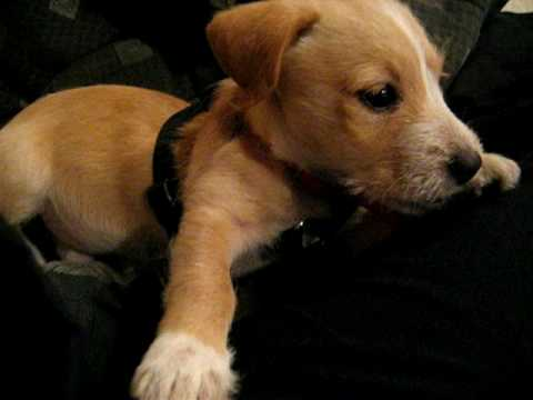 lab jack russell pit mix - photo #24