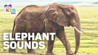 Elephant sounds (Trumpet) - Animal sounds for kids