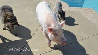 Tito and the Three Little Piggies Go Swimming!