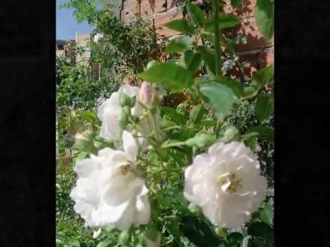 Baixar Bruno e Marrone choram as rosas.mp3.wmv