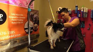 Dog Grooming - Live - Busy - Aggressive Maltese becoming better