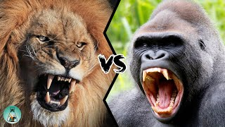 LION VS GORILLA - Who would win this fight?