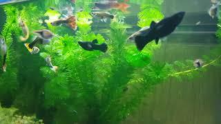 Sleep Music | Aquarium Fish | Black Molly Fish | Albino Corydoras | Light Chocolate Pleco