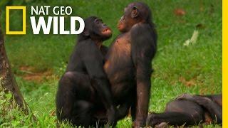 Bonobo Love   Wild Wives of Africa