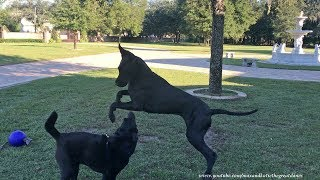 Great Dane Shows off Bounce Dance Moves to Friends