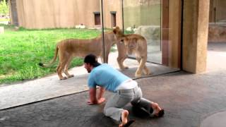 How to play with lions at the zoo