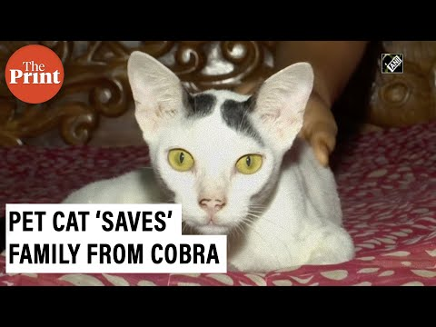 Watch: Pet cat stands guard, 'saves' family from cobra