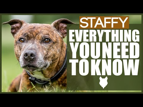 STAFFORSHIRE BULL TERRIER! Everything You Need To Know