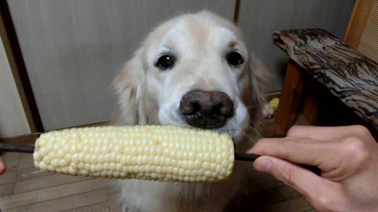 Un chien mange un épi de maïs