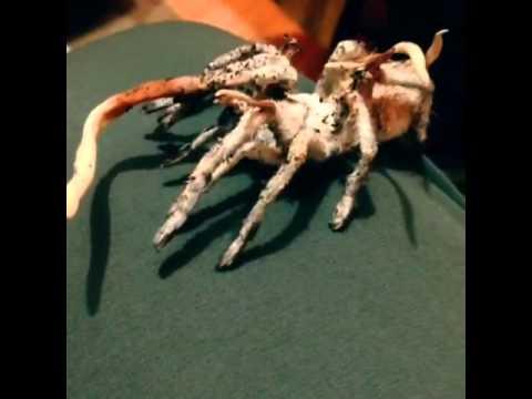 Incredible Zombie Fungus-Attacked Tarantula - YouTube