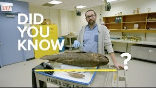 Meet the coelacanth