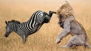 When Prey Fights Back   Most Amazing Animal Attack Fails 2016