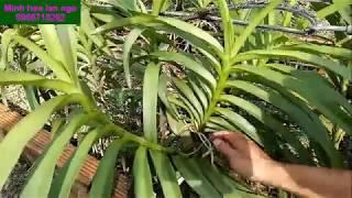 Hướng dẫn trồng  cây con hoa lan mokara|Minh hoa lan ngo