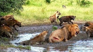 LIVE: Craziest Moments of Animals Fight 2018 Lion Vs Bees, Cheetah Vs Eagle, Bear vs Hyena