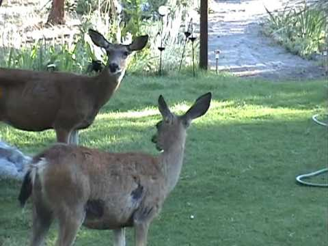 Deer Says Quot Meh Quot Mother Deer And Fawns Deer In The