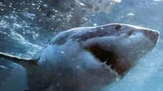 ホオジロザメ11