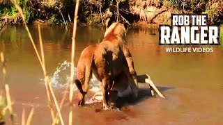Lioness Crosses A River To Feed Her Cubs | Archive Lion Footage