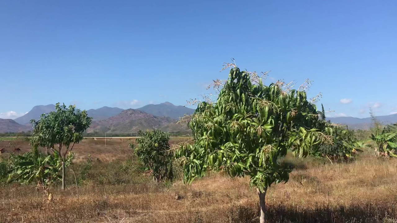 Bán đất sào Bác Ái 6.3 ha (63.000m2)đường lớn trên đất vườn xoài ra bông. Suối quanh lô đất video