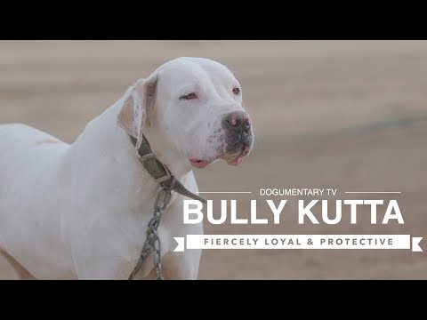 BULLY KUTTA: FIERCELY LOYAL AND PROTECTIVE