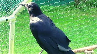 The story of our adopted crow with a broken wing
