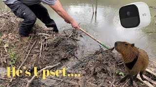 Catfish helps a beaver rebuild his dam!