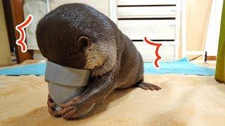 この【塩ビ管】という物、たまらん!カワウソ ビンゴ Otter Bingo Playing with PVC Pipe