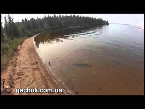 Щука выпрыгивает на берег чтобы съесть другую щуку