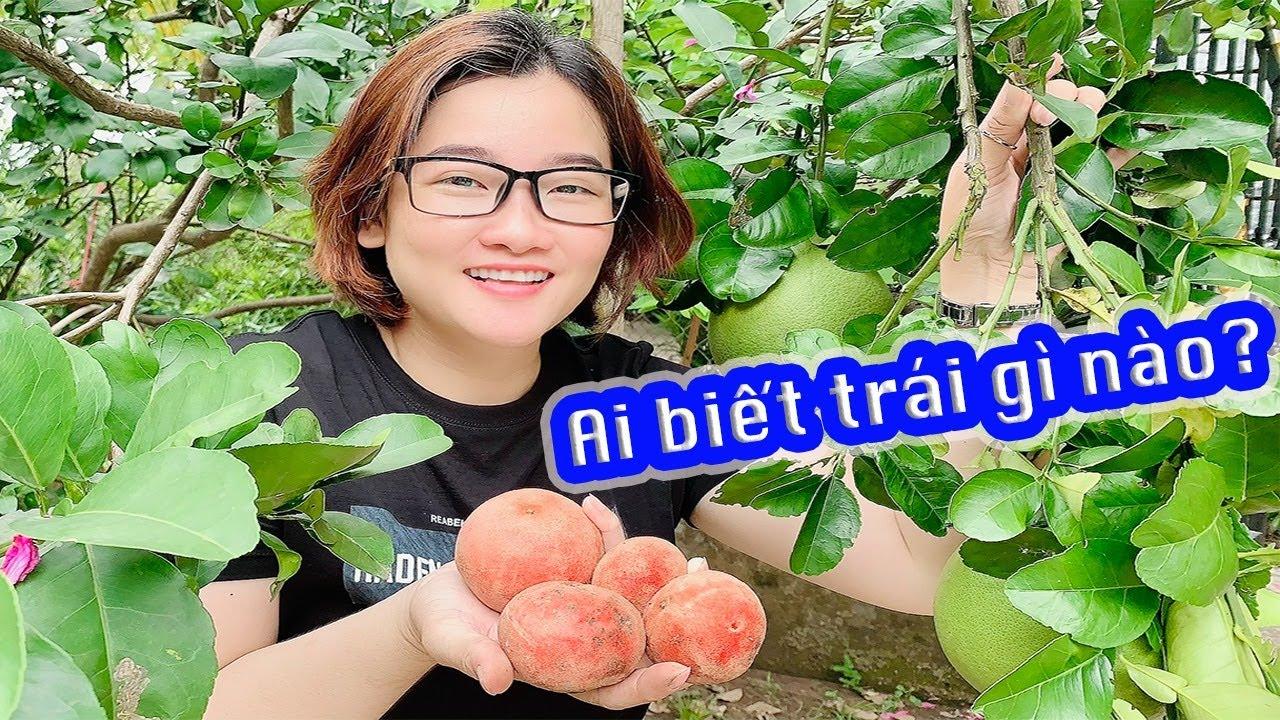 Đột nhập miệt vườn Miền Tây khám phá được trái hồng nhung cực độc lạ hiếm gặp
