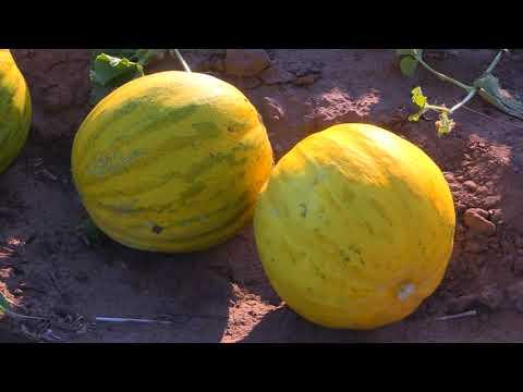 Выбивка семян нового сорта дыни «Катюша»