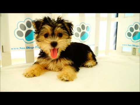 Shorkie Tzu Puppies for Sale!
