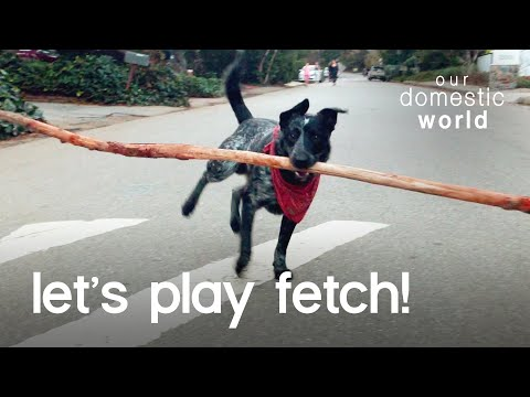 Dog Fetches The World's Biggest Stick?!?! | Our Domestic World