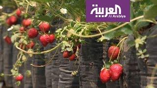 السياحة عبر العربية رحلة ترفيهية مع الفراولة في أندونيسيا ...