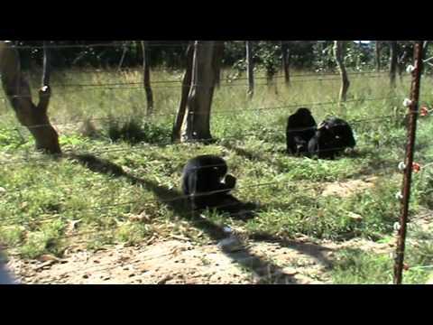 Julie, la chimpancé que creó la moda de llevar una hierba en la oreja