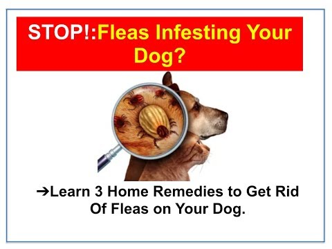 home flea treatment for dogs