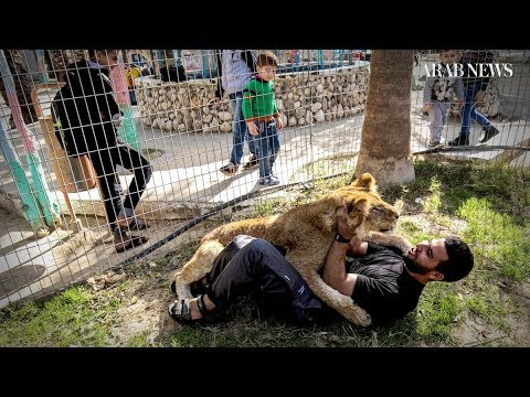 Palestinian zoo cuts lion's claws so visitors can cuddle the cats