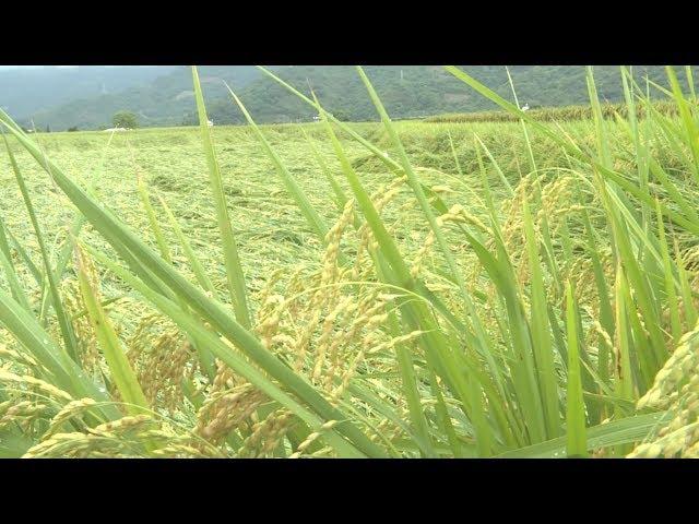 關山豪雨80公頃稻作倒伏