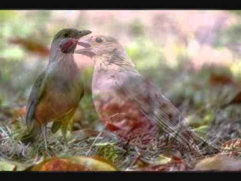 Baixar Sabia Laranjeira e Seu Canto Maravilhoso (Melhor Video)