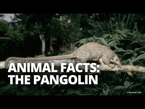 Five facts about pangolins