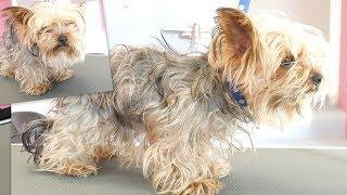PetGroooming - Yorkie Transformation of the Month! Grooming Yorkshire Terrier.