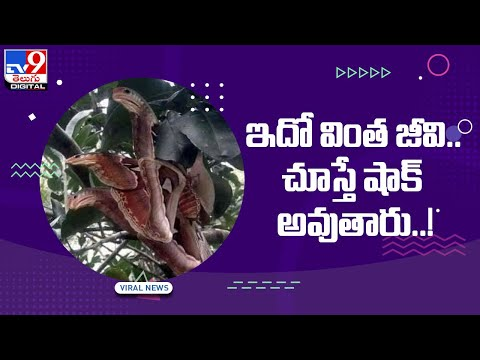 Three faced snake pictures go viral on social media, here is the fact