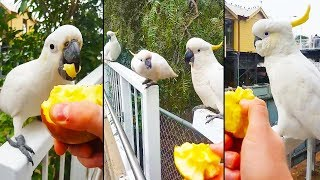 Ozzy Man Reviews: Cockatoos Feeding