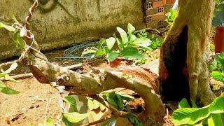 Cây ổi ăn trái thành cây bonsai
