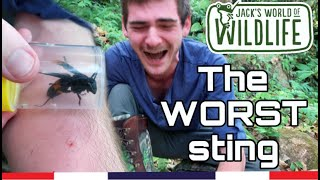 THE WORST sting!  Giant Asian Hornet: Vespa tropica  | Thailand Series |