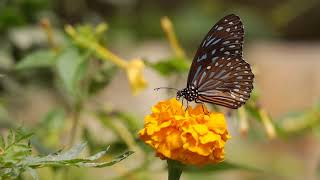 butterfly full hd |no copyright video|free video